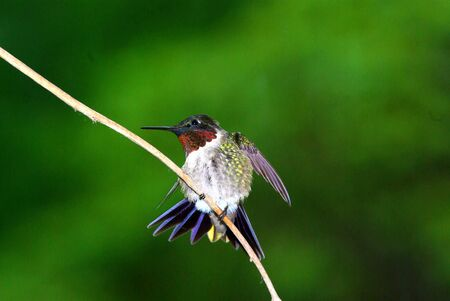 ruby throated: Ruby Throated Humming Bird  on perch