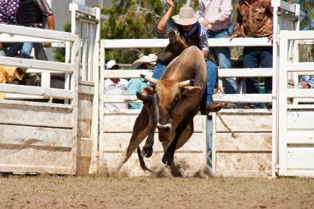 cowboys riding dangerous bull on australia day rodeo festival (gold coast)