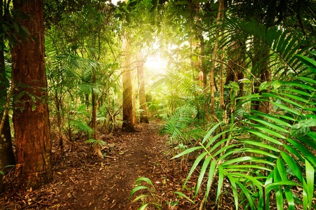 australia landscape: australian rainforest at late afternoon with sun rays breaks through the trees