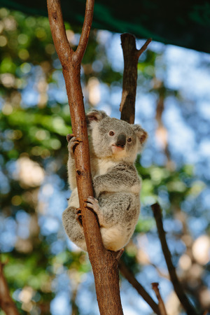 qld: Koalas  at Currumbin Wildlife Park, Qld, Australia Stock Photo