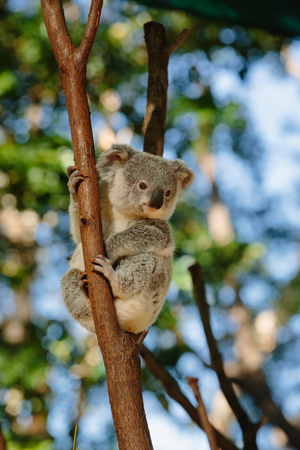 Koalas  at Currumbin Wildlife Park, Qld, Australia Stock Photo
