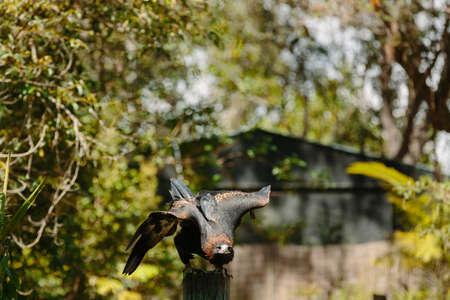 qld: Eagle in flight at Currumbin Wildlife Park, Qld, Australia