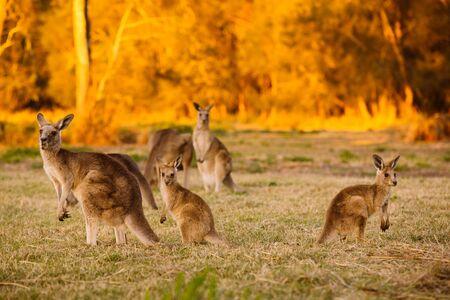 qld: Herd of kangaroos at twilight (Coombabah Lake, QLD, Australia) Stock Photo