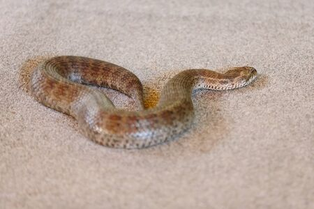 gold coast: Common death adder at snake show (Gold Coast, Bundall, QLD, Australia)
