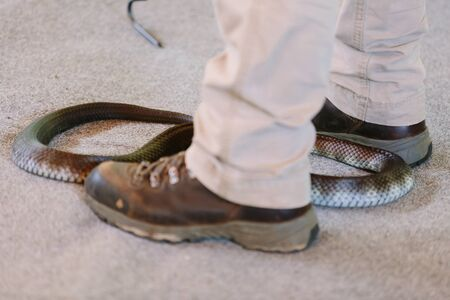 qld: Stay still close to venomous snake (Gold Coast, Bundall, QLD, Australia) Stock Photo