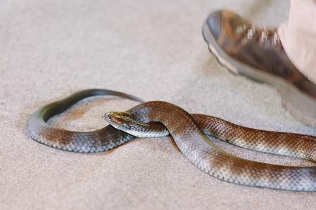 gold coast: Venomous snake (Gold Coast, Bundall, QLD, Australia)