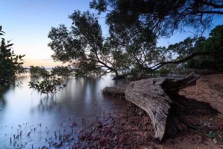 qld: Australian mangrove trees at sunset (Brisbane, Wellington Point, QLD, Australia)