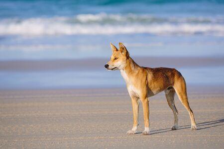 グレート ・ サンディ国立公園、フレーザー島ワクテル ポイント、クイーンズランド州、オーストラリアのビーチでディンゴ 写真素材