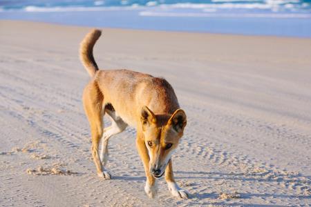 Dingo on the beach in Great Sandy National Park, Fraser Island Waddy Point, QLD, Australia