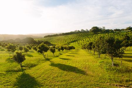 Macadamia-boomgaard in Byron Bay, Bangalow, NSW, Australië Stockfoto - 93089435