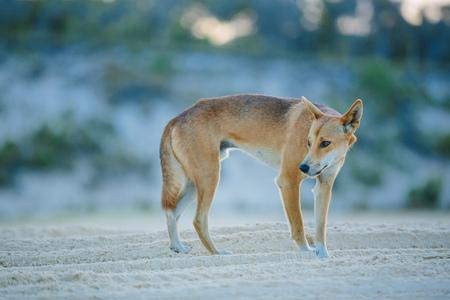 グレートサンディ国立公園のビーチでディンゴ, フレイザーアイランドワディポイント, QLD, オーストラリア 写真素材