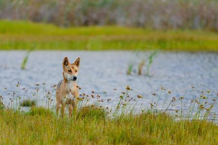 Dingo around the beach in Great Sandy National Park, Fraser Island Waddy Point, QLD, Australia