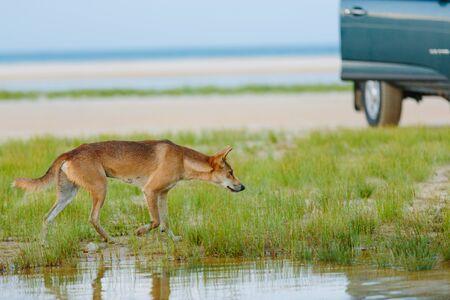 グレートサンディ国立公園、フレイザーアイランドワディポイント、QLD、オーストラリアのビーチの周りのディンゴ