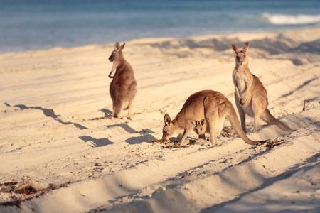 ブリビー島のビーチでカンガルー, ブリスベン, QLD, オーストラリア