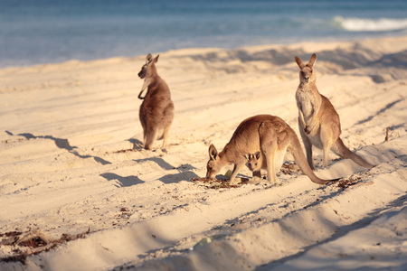 Kangoeroes op het strand in Bribie Island, Brisbane, QLD, Australië