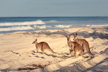Kangaroos on the beach in Bribie Island, Brisbane, QLD, Australia Imagens