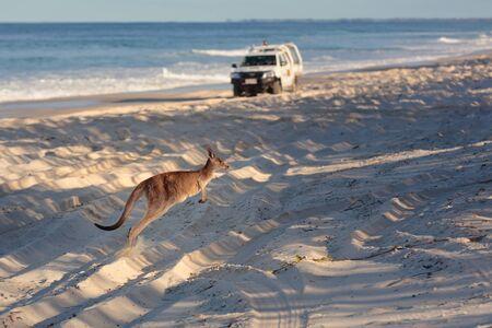 Kangaroo on the beach in Bribie Island, Brisbane, QLD, Australia