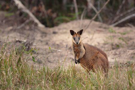 ブリビー島の茂みのワラビー,ブリスベン,QLD,オーストラリア