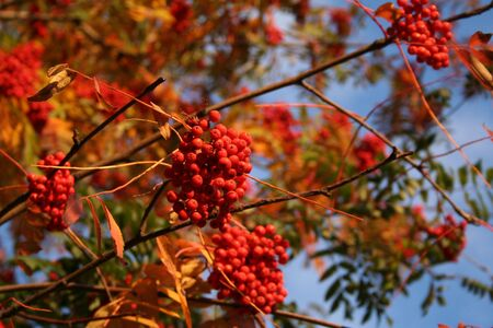 bunchy: Autumn in Russia. Branch of ashberry