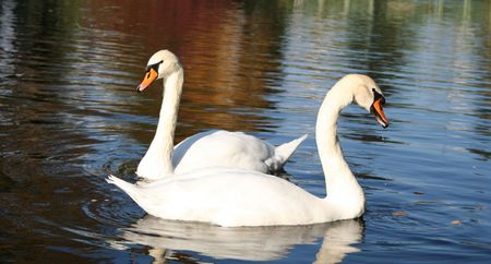 Pair of white swans on the pond Stock Photo - 5219273