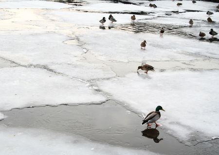 Ice field with ducks can use as background Stock Photo - 5248168