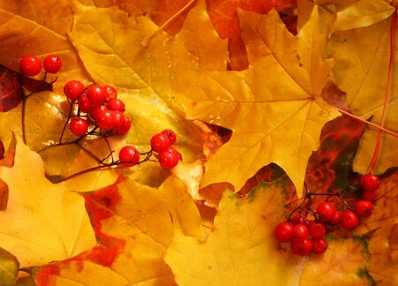 Ash berry clusters on yellow maple leaves as autumn background Stock Photo - 5754021