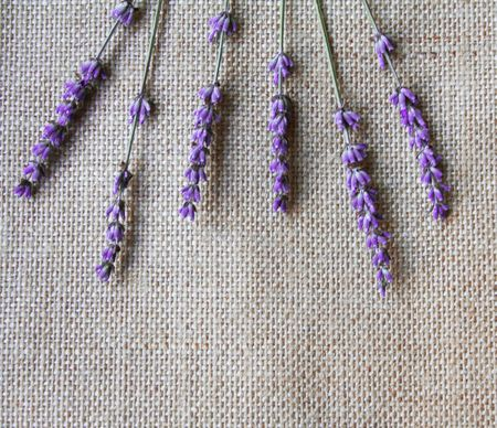 Bunch of lilac lavender flowers on sackcloth background photo