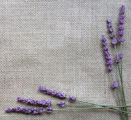 lavandula: Bunch of lavender flowers on sackcloth background