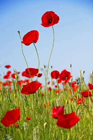 Poppies on a green field against the blue sky photo