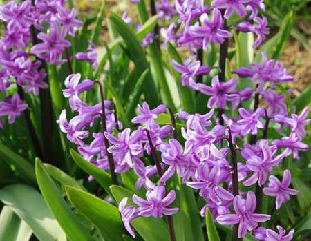 hyacinthus: Purple hyacinths (hyacinthus) is one of the first beautiful spring flowers can use as background