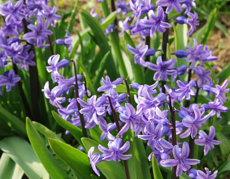 hyacinthus: Purple hyacinths (hyacinthus) is one of the first beautiful spring flowers