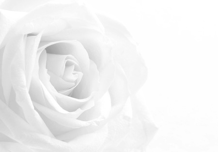Beautiful white rose close-up can use as wedding background. Soft focus. In black and white. Retro style