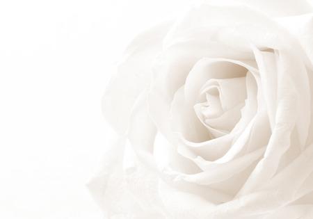 Biała róża z bliska można użyć jako tło. Miękki. W stonowanych odcieniach sepii. Styl retro