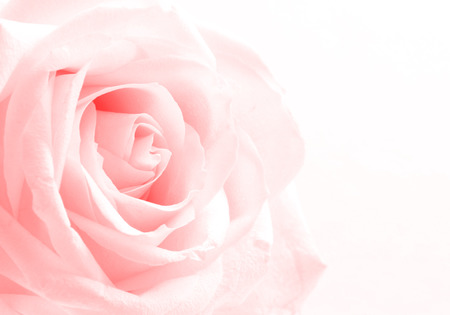 focus on background: Beautiful toned white rose close up can use as valentines day background. Soft focus.