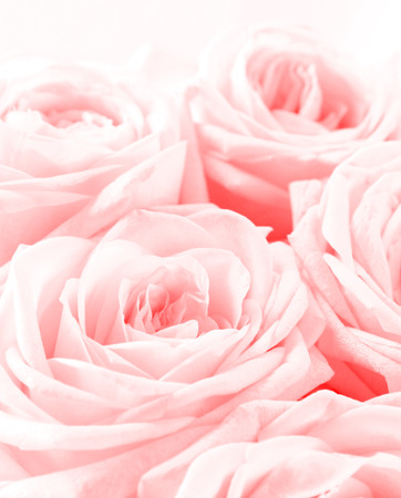 La bella fine tonificata della rosa di bianco su può usare come fondo del giorno di biglietti di S. Valentino. Focalizzazione morbida.