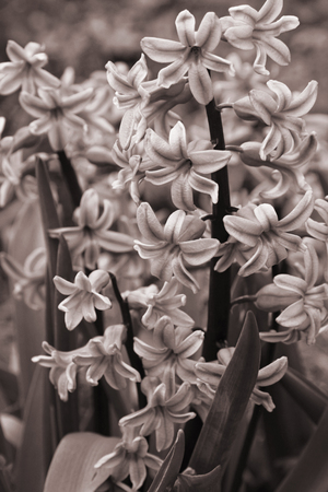 hyacinthus: Purple hyacinths (hyacinthus) is one of the first beautiful spring flowers can use as background. In Sepia toned. Retro style
