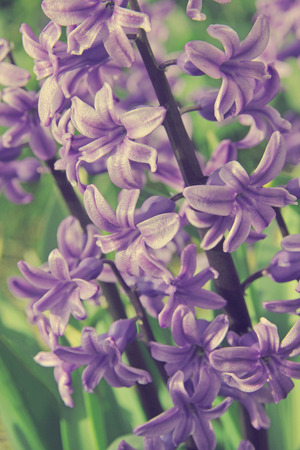 hyacinthus: Purple hyacinths (hyacinthus) is one of the first beautiful spring flowers can use as background.