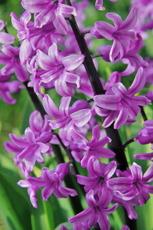 hyacinthus: Pink hyacinths (hyacinthus) is one of the first beautiful spring flowers can use as background Stock Photo