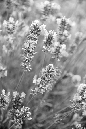 Lavender flowers can use as background. In black and white toned