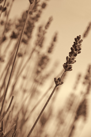 Lavender flowers can use as background. In Sepia toned. Retro style