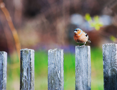 fencepost: A bluebird sits on a wooden fencepost with blur backdrop