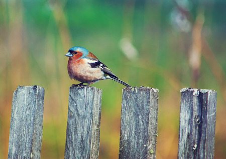 fencepost: A bluebird sits on a wooden fencepost with blur green backdrop