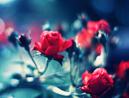 Red roses over blurred dark blue background photo