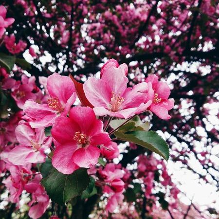 Apple blooming Archivio Fotografico