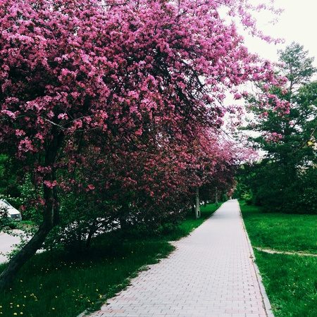 Street with Apple blooming