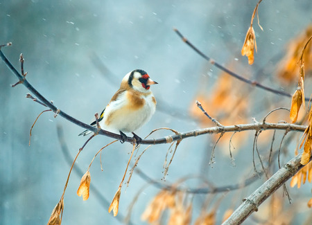 goldfinch: Goldfinch sitiing on branch, winter season snow