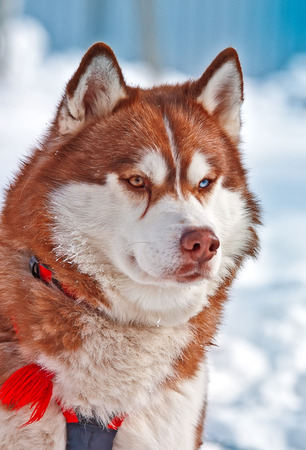 blue grey coat: Portrait of Siberian red Husky in winter snow Stock Photo