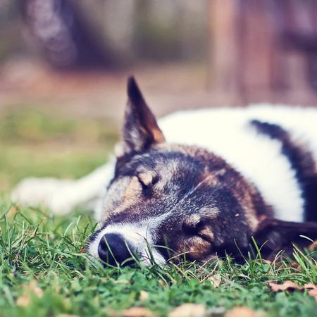 dysplasia: Dog laika sleeping in the green grass