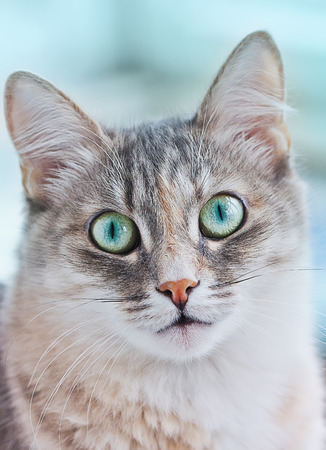 animal eye: Close-up portrait of a kitten with big green eyes on a blue background Stock Photo