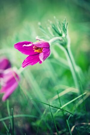 pasque: Anemone patens. Spring flower. Pasque flower - Pulsatilla patens, Flower Sleep - grass Stock Photo
